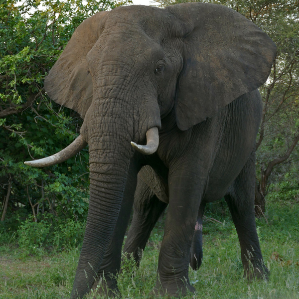 African Elephant (Bernard DUPONT from FRANCE / CC BY-SA (https://creativecommons.org/licenses/by-sa/2.0))